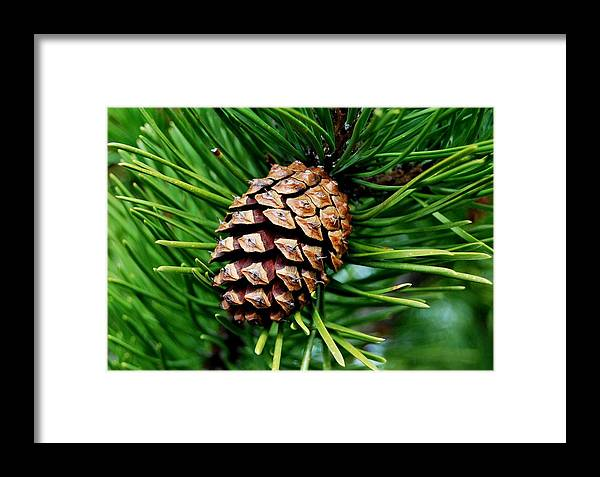 Pine Cone Framed Print featuring the photograph Scotch Pine Cone by Marilynne Bull