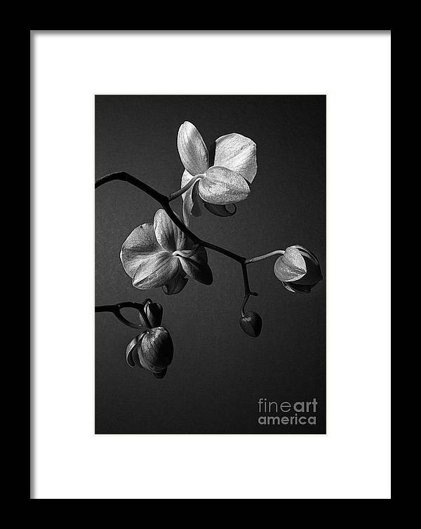 Orchid Framed Print featuring the photograph Scotopic Vision 3 - Orchid by Pete Hellmann
