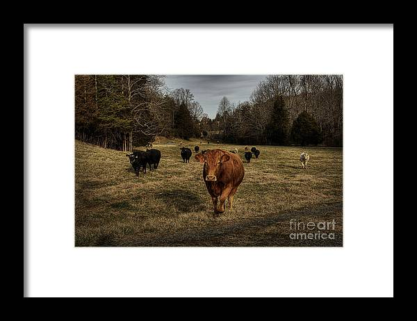 Scotopic Framed Print featuring the photograph Scotopic Vision 9 - Cows Come Home by Pete Hellmann