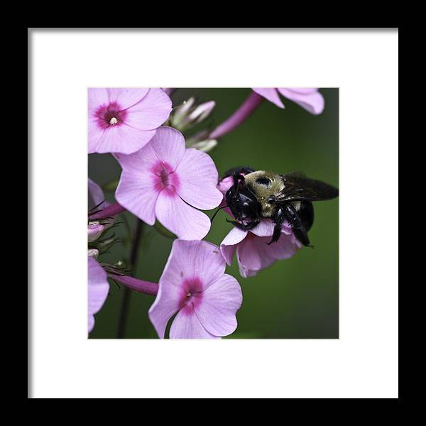Phlox Framed Print featuring the photograph Scratch That Itch by Teresa Mucha