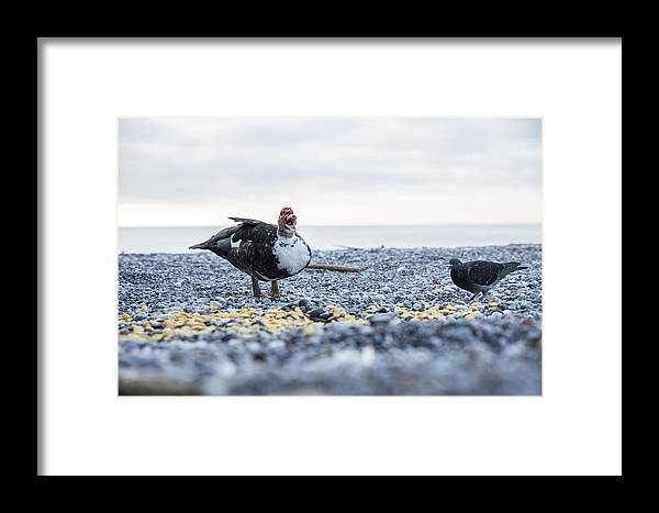 Duck Framed Print featuring the photograph Screaming Duck by Gerald Kloesch