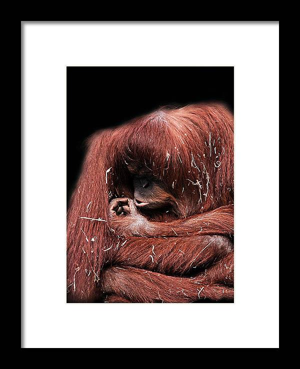 Orangutan Framed Print featuring the photograph Scrutiny by Lesley Smitheringale