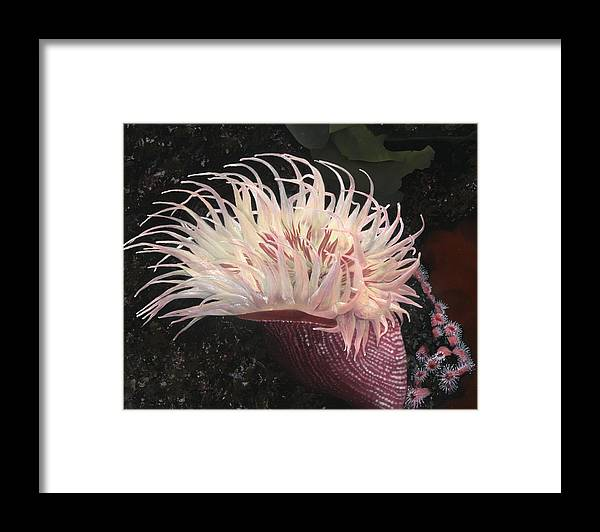 Anemone. Sea Anemone Framed Print featuring the painting Sea Anemone by Charles Parks