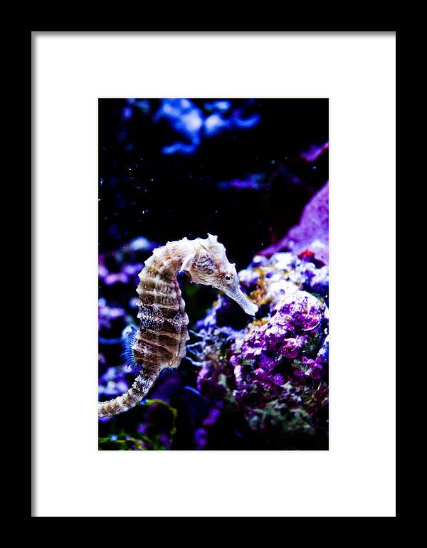 Seahorse Framed Print featuring the photograph Sea Horse by Brenton Woodruff
