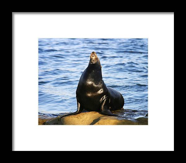 Sea Lion Framed Print featuring the photograph Sea Lion Sing by Anthony Jones