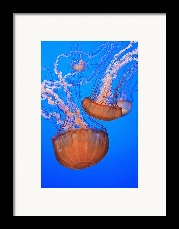 Aquarium Framed Print featuring the photograph Sea Nettles Chrysaora Fuscescens In by Stuart Westmorland