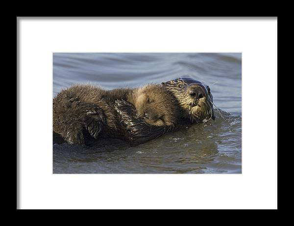 00438549 Framed Print featuring the photograph Sea Otter Mother With Pup Monterey Bay by Suzi Eszterhas