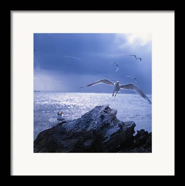 Nature Framed Print featuring the photograph Seabird Flack by Benjamin Garvey