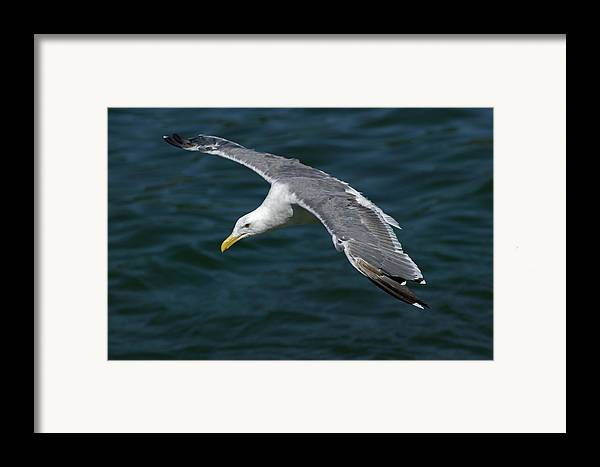 Animal Framed Print featuring the photograph Seagull In Flight by Randall Ingalls