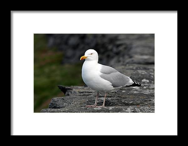 Seagull Framed Print featuring the photograph Seagull by John Quinn