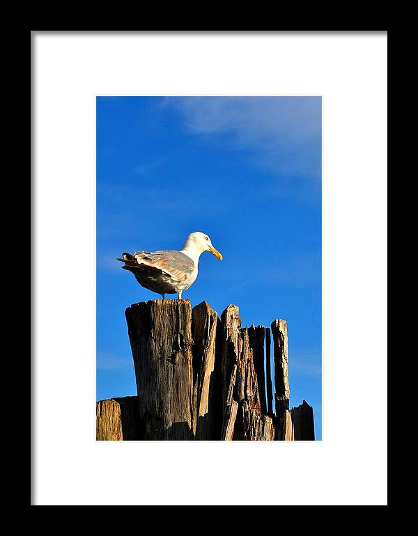 Seagull Framed Print featuring the photograph Seagull On A Dock 2 by Andrew Dinh