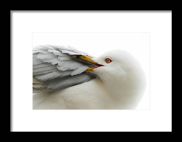 Seagull Framed Print featuring the photograph Seagull Pruning His Feathers by Keith Allen