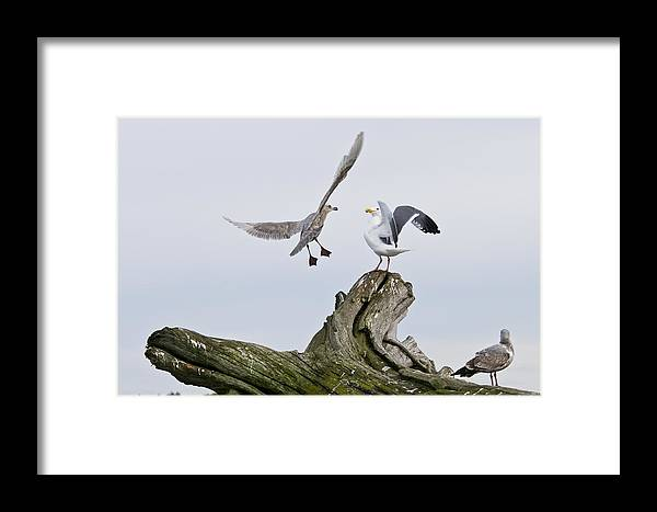 Birds Framed Print featuring the photograph Seagulls In Dispute by Chad Davis