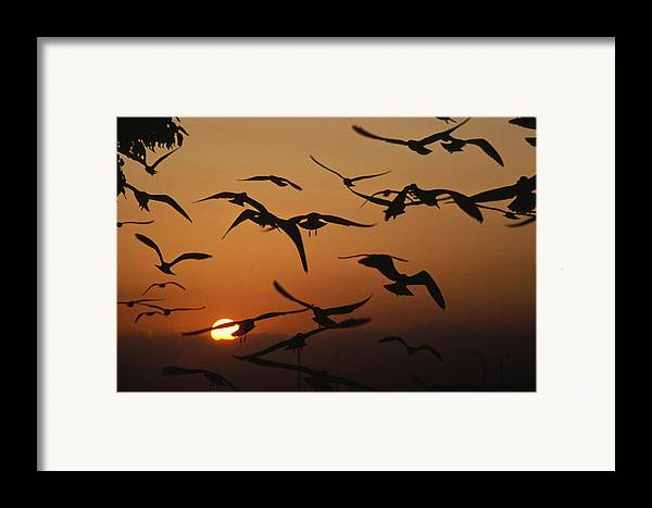 Birds Framed Print featuring the photograph Seagulls In Sunset by Carl Purcell