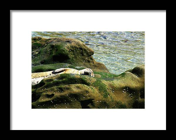 Seal Framed Print featuring the photograph Seal On The Rocks by Anthony Jones
