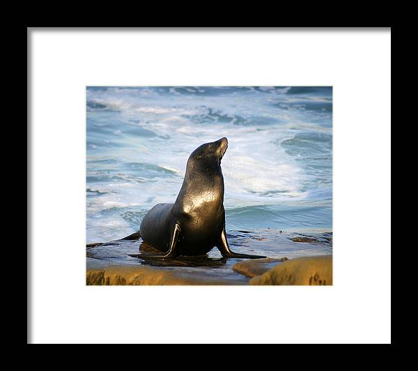 Sealion Framed Print featuring the photograph Sealion by Anthony Jones