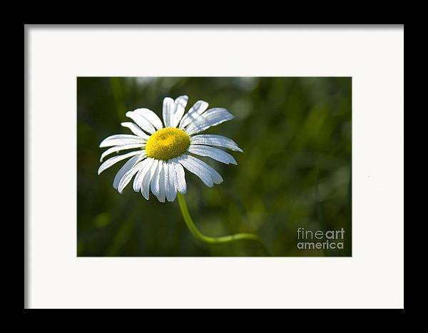 Daisy Framed Print featuring the photograph Searching For Sunlight by Idaho Scenic Images Linda Lantzy