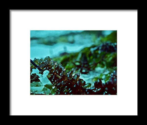 Framed Print featuring the photograph Seaweed 1 by Lise Pellegrin