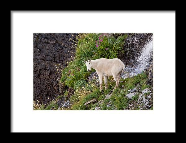 Mountain Goat Framed Print featuring the photograph Secret Garden by Kent Keller