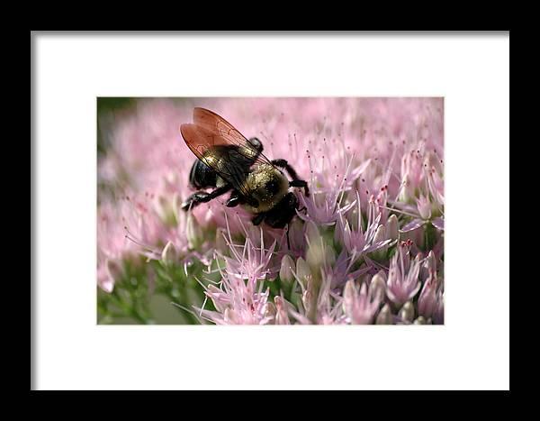 Bees Framed Print featuring the photograph Sedum Bumbler by Ross Powell