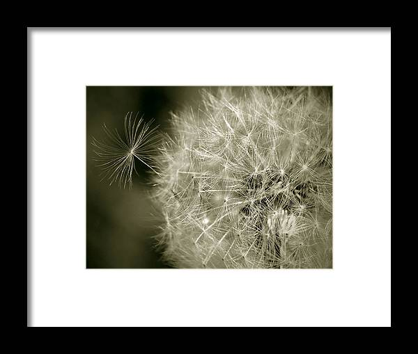 Nature Framed Print featuring the photograph Seedy Dandelion by Mary Lane
