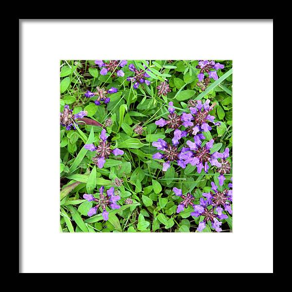 Photograph Framed Print featuring the photograph Selfheal In The Lawn by Mandy Elliott
