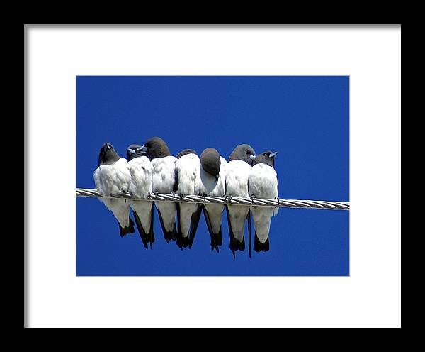 Animals Framed Print featuring the photograph Seven Swallows Sitting by Holly Kempe
