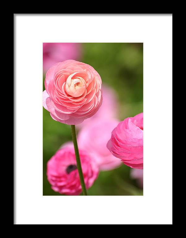 Flowers Framed Print featuring the photograph Shades Of Pink by Martha Layton Smith