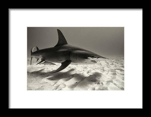 Great Hammerhead Shark Framed Print featuring the photograph Shadows On The Sand by Aaron Whittemore