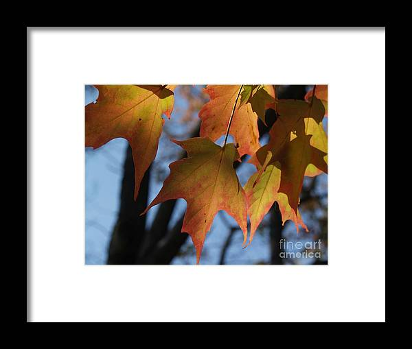 Leaf Framed Print featuring the photograph Shadowy Sugar Maple Leaves In Autumn by Anna Lisa Yoder
