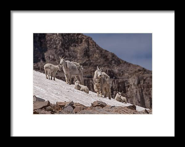 Mountain Goat Framed Print featuring the photograph Shedding by Kent Keller