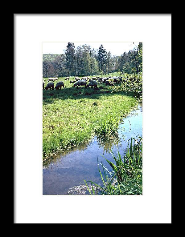 Sheep Framed Print featuring the photograph Sheep by Flavia Westerwelle