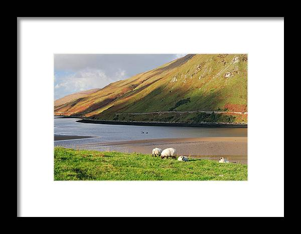Sheep Framed Print featuring the photograph Sheep Grazing In Connemara Ireland by Pierre Leclerc Photography
