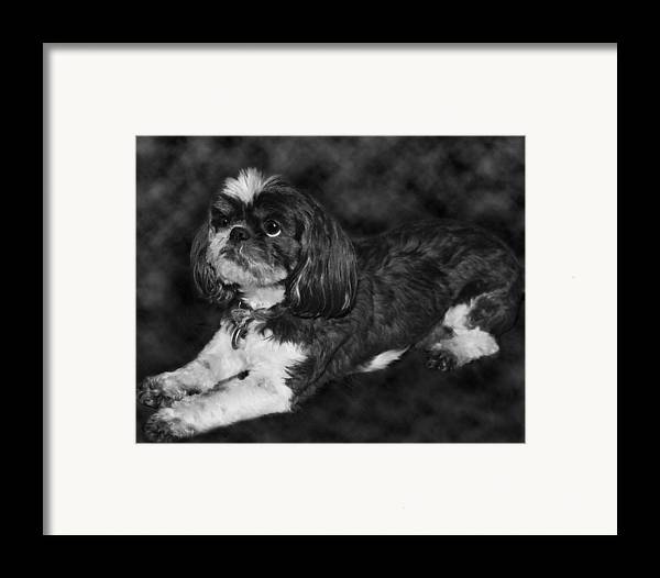3scape Photos Framed Print featuring the painting Shih Tzu by Adam Romanowicz