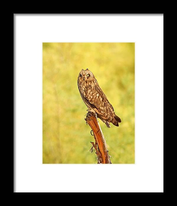 Bird Framed Print featuring the photograph Short Eared Owl by Dennis Hammer