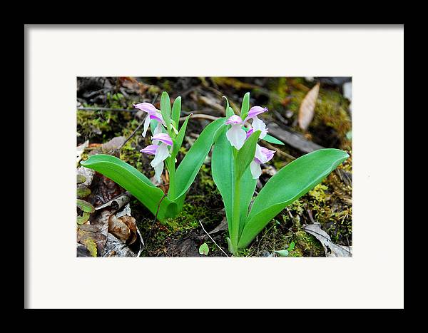 Orchid Framed Print featuring the photograph Showy Orchis by Alan Lenk