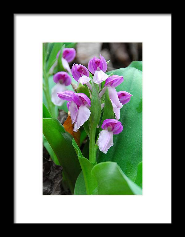 Showy Orchis Framed Print featuring the photograph Showy Orchis Close Up by Alan Lenk