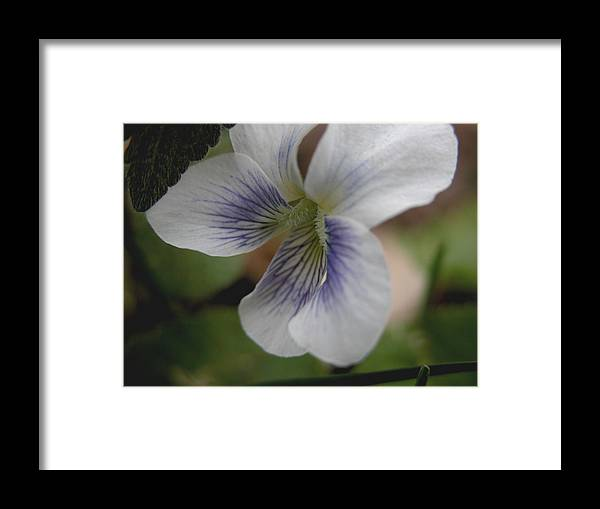 Violet Framed Print featuring the photograph Shrinking Violet by Michelle Hastings