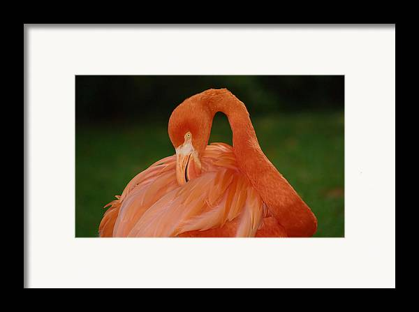 Flamingo Framed Print featuring the photograph shy by Gaby Swanson