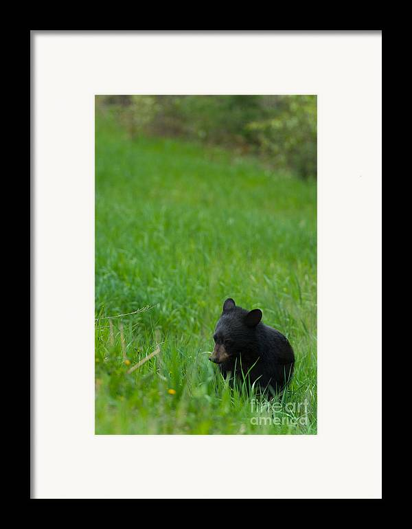 Black Bear Framed Print featuring the photograph Shyness by Birches Photography
