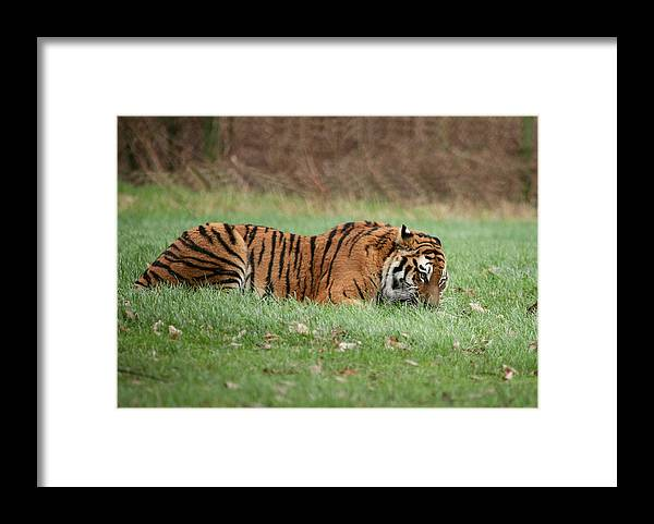 Endangered Framed Print featuring the photograph Siberian Tiger Checking Scent by Daniel Earnhardt