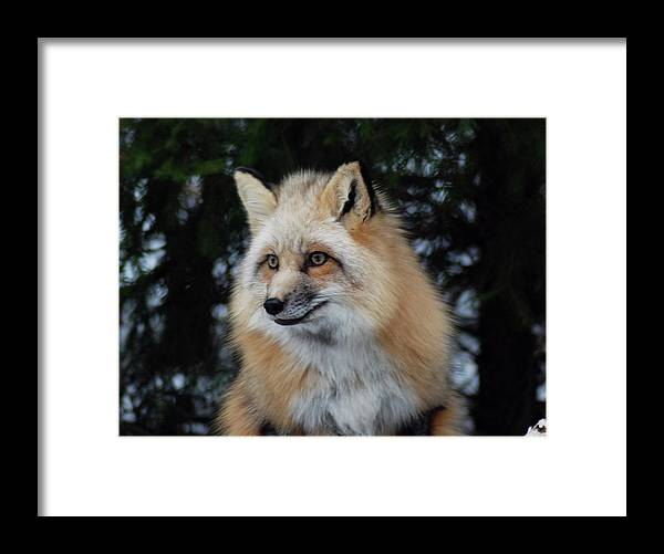 Fox Framed Print featuring the photograph Sierra's Profile by Richard Bryce and Family