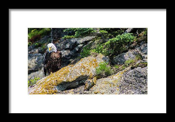 Bald Eagle Framed Print featuring the photograph Silence by Holly Ross