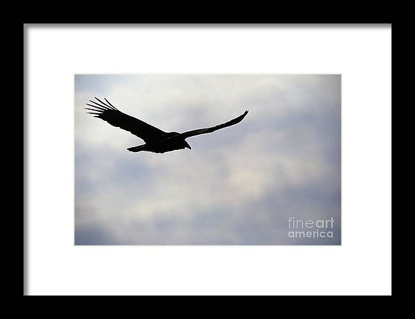 Silhouette Framed Print featuring the photograph Silhouette Of A Turkey Vulture by Erin Paul Donovan