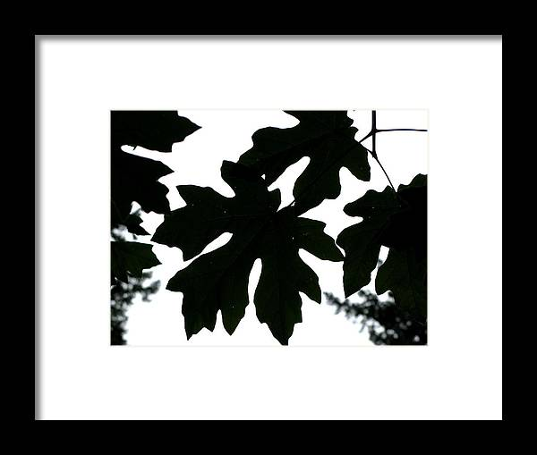 Tree Framed Print featuring the photograph Silhouetted Maple by PJ Cloud