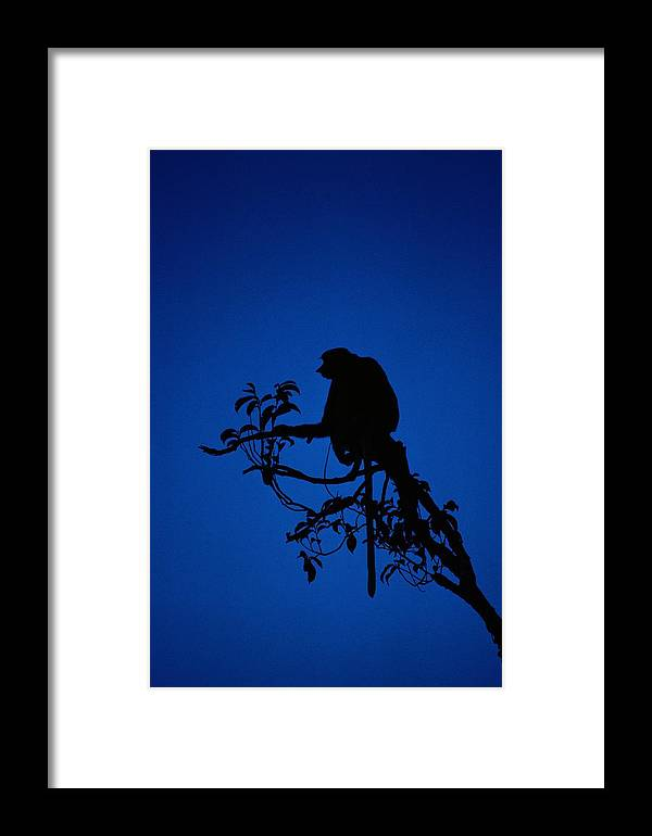 Borneo Island Framed Print featuring the photograph Silhouetted Proboscis Monkey Nasalis by Mattias Klum