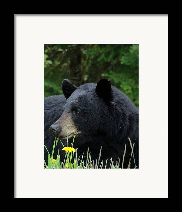 Bear Framed Print featuring the photograph Silly Ole Bear by Tingy Wende