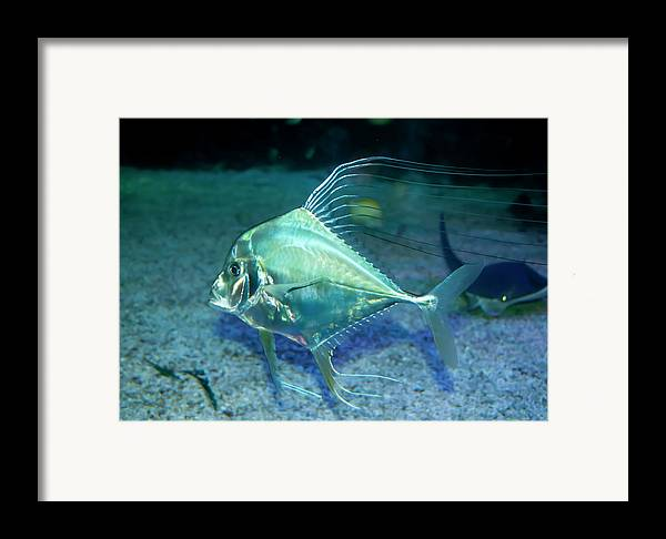 Aqua Framed Print featuring the photograph Silver Fish by Svetlana Sewell