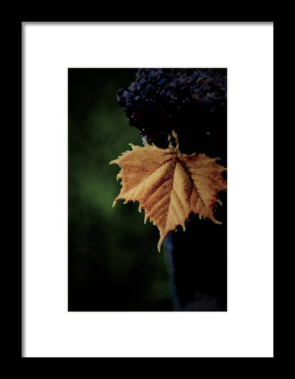 Framed Print featuring the photograph Silver Maple by Joanie Leport
