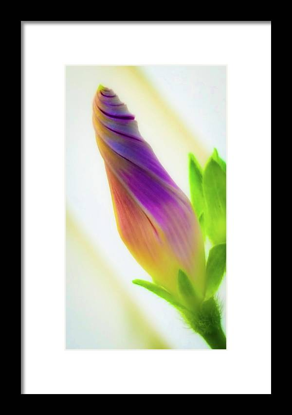 Morning Glory Framed Print featuring the photograph Simple Beauty by Bruce Carpenter